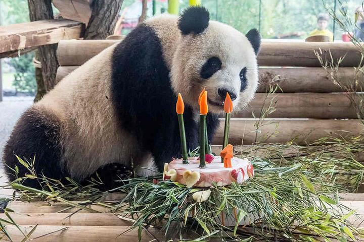 Am Montag wurde im Zoo noch freudig Meng Mengs vierter Geburtstag gefeiert.