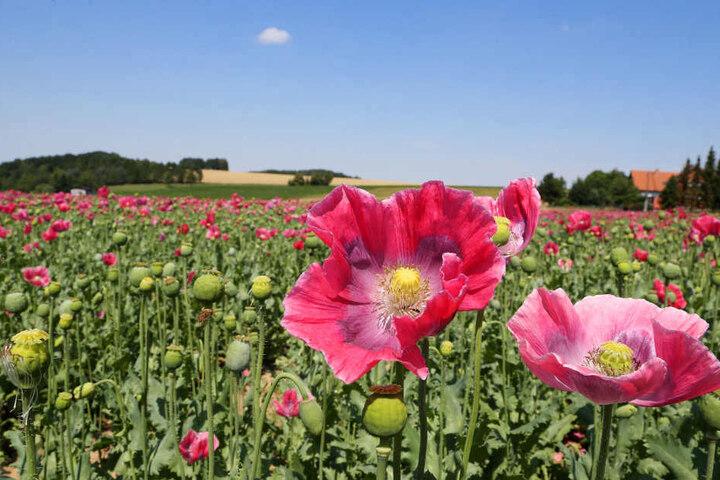 Rund 30 Hektar umfasst das Mohnfeld in Callenberg.