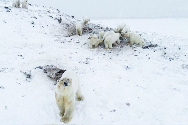 Die Eisbären sind immerzu hungrig.
