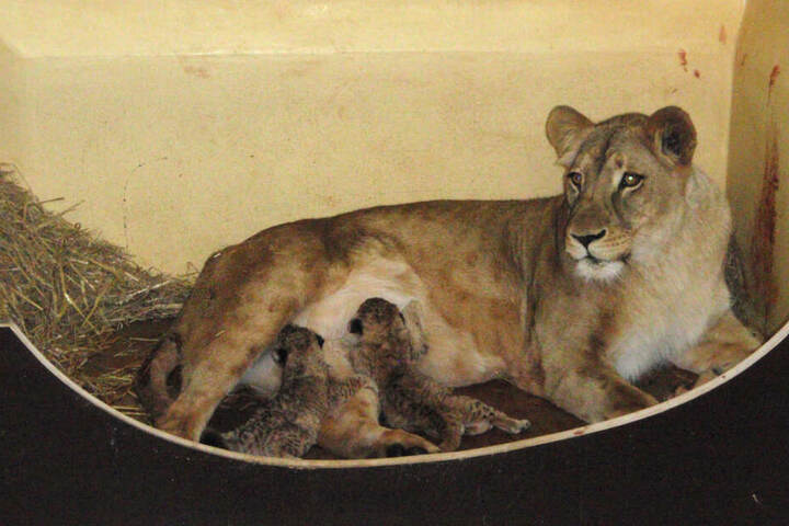 Mama Bastet brachte die Löwen am Karfreitag zur Welt.