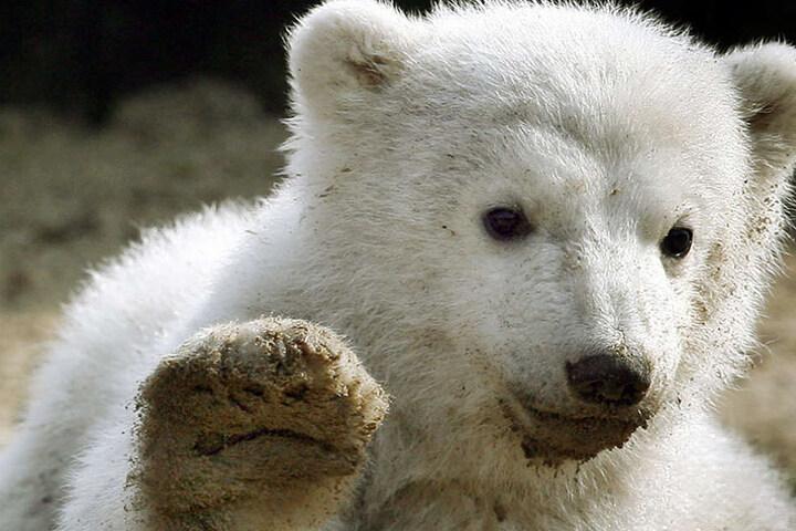 Söhnchen Knut starb bereits qualvoll 2011.