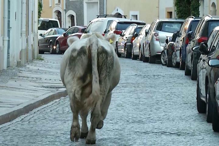 Die Kuh auf dem Weg durch die Görlitzer Altstadt.