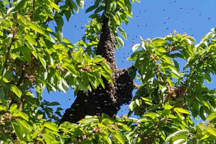 Nachdem die Bienen auf der Straße waren, hatten sie es sich auf dem Baum gemütlich gemacht.