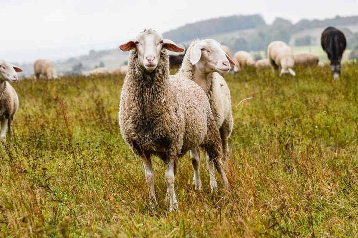 Schafe stehen auf einer Wiese. (Symbolbild)