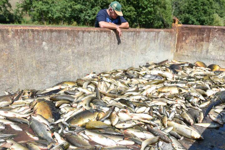 25. August 2015: Ein freiwilliger Helfer betrachtet bei Elpershofen tote Fische in einem Container. Die Tiere waren nach den Löscharbeiten verendet.