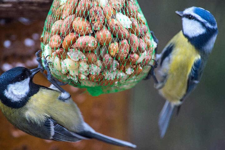 Wenn zwischen Nüssen und Kernen etwas Fett versteckt ist, picken Meisen besonders gern an Futterknödeln.