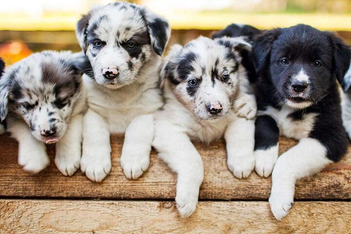 Insgesamt gibt es bei der Schau über 2000 Hunde in 240 Rassen zu sehen.