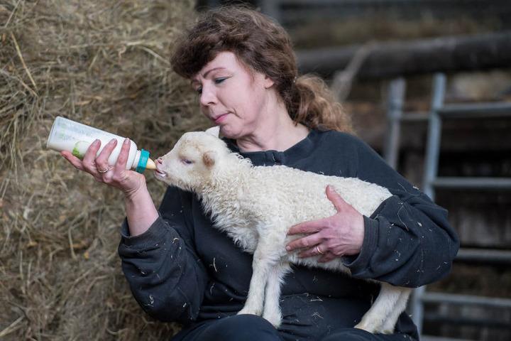 Die Schäferin Ortrun Humpert aus Marienmünster (Kreis Höxter) füttert ein zwei Wochen altes Lamm mit der Flasche.