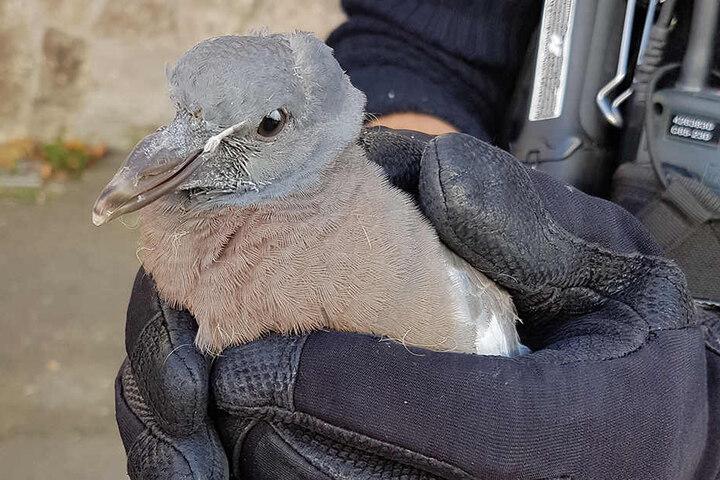 Die kleine Taube fühlt sich in sicheren Polizeihänden pudelwohl.