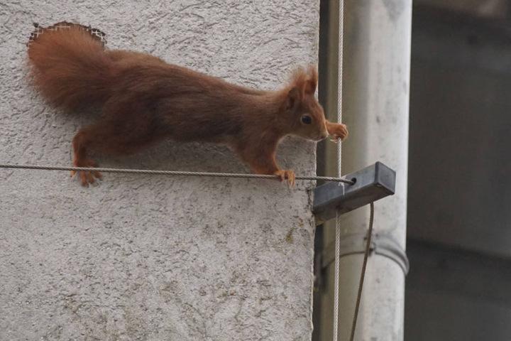 Neugierig beobachtet wurde der Einsatz von einem zweiten Tier, das nur wenige Zentimeter entfernt in einem Loch der Hausfassade saß.