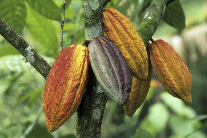 So sehen Kakaofrüchte am Baum aus.