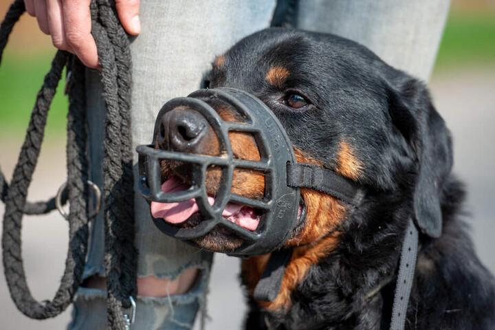 Unter den Kampfhunden sind es meist Rottweiler, die einen Menschen gebissen haben. (Symbolbild)