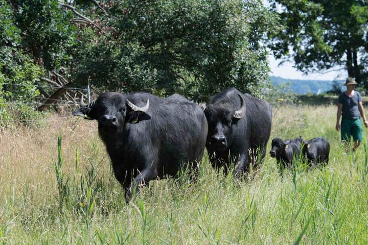Die fünf Wasserbüffel sind noch immer auf der Flucht (Symbolbild).