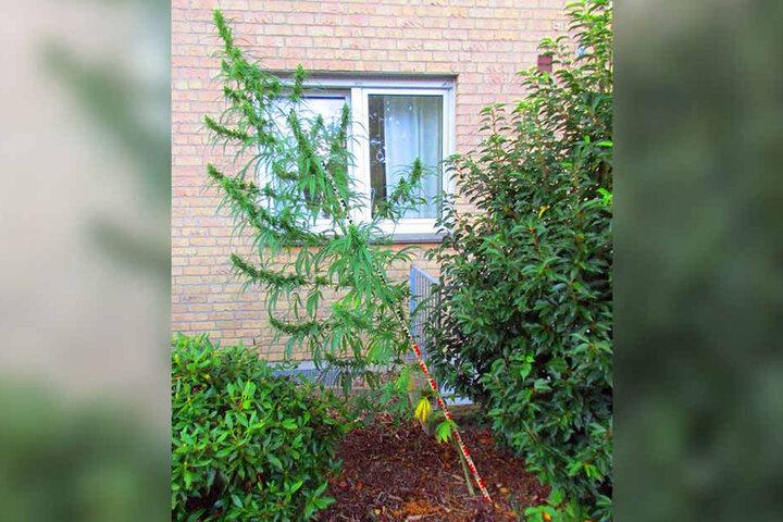 2,60 Meter war die Cannabis-Pflanze groß, als ein Polizist sie im Vorgarten bemerkte.