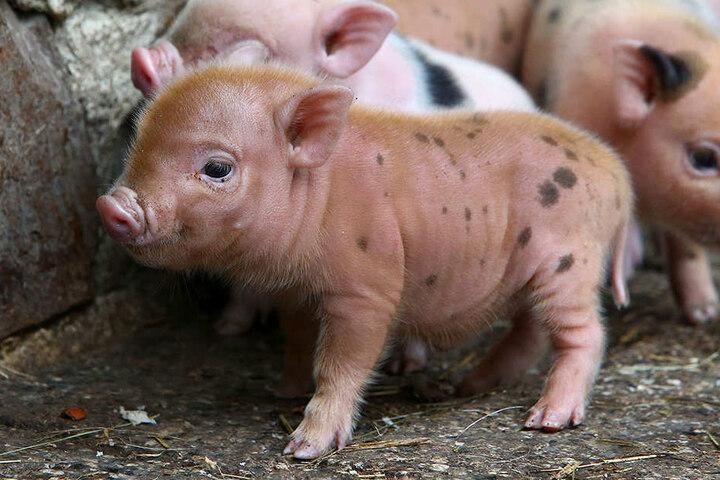 Mit zehn bis zwölf Wochen können die Minischweine abgegeben werden.