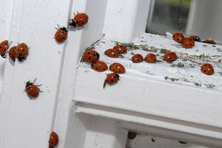 Marienkäfer können auch außerhalb des Gartens auftauchen.