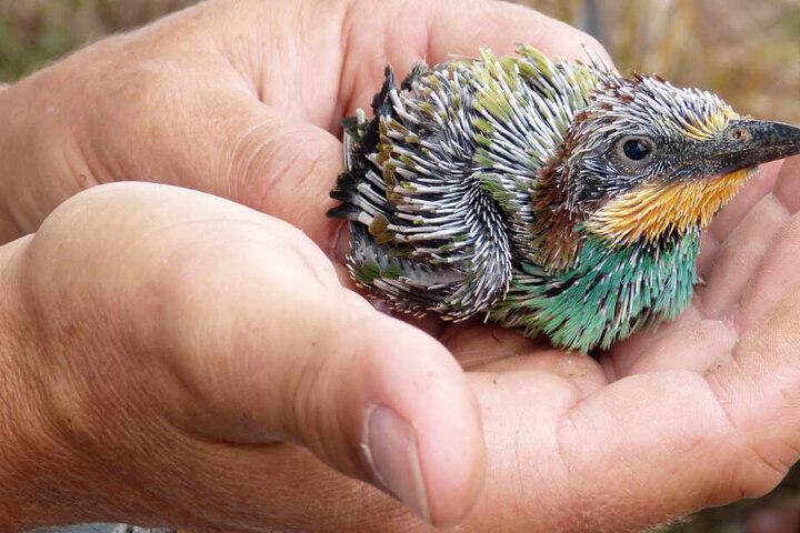 Vorsicht: Eine vermeintliche Rettung von Jungvögeln könnte mehr schaden als Gutes bewirken. (Symbolbild)
