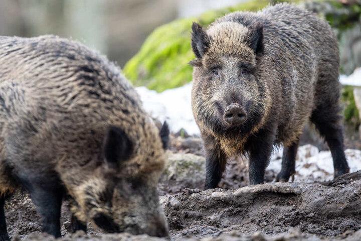 Es wird in Bayern gefordert, deutlich mehr Wildschweine als bisher zu erlegen.