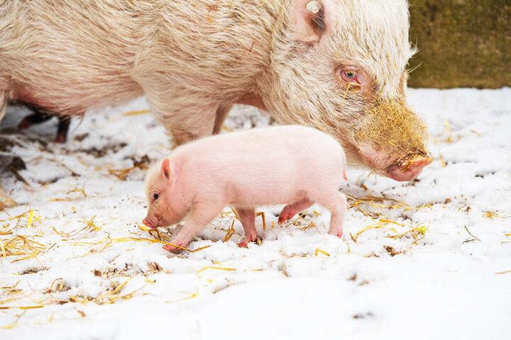 Kleine Ferkel frieren im Winter ganz besonders stark.