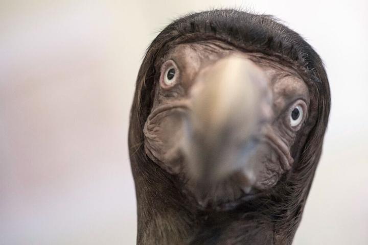 Täuschend echt: Das Dodo-Exemplar!