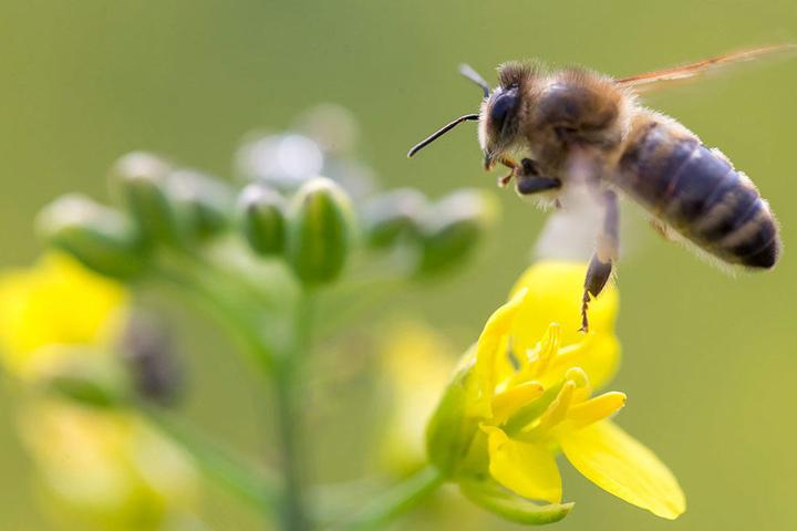 In manchen Teilen Brandenburgs sind die Insekten resistent gegen Pflanzenschutzmittel. Die Biene leider hat weniger Glück.