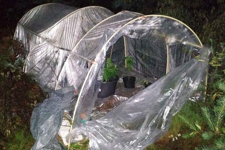 Der oder die Besitzer hatten das Gewächshaus noch versucht mit Pflanzen zu tarnen.