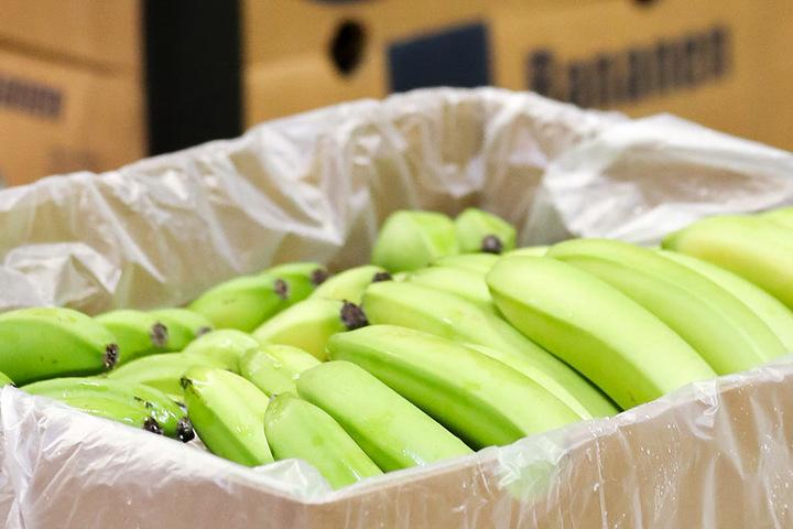 Bananen werden grün geerntet und reifen auf dem Weg in die Läden mittels des Gases Ethylen.