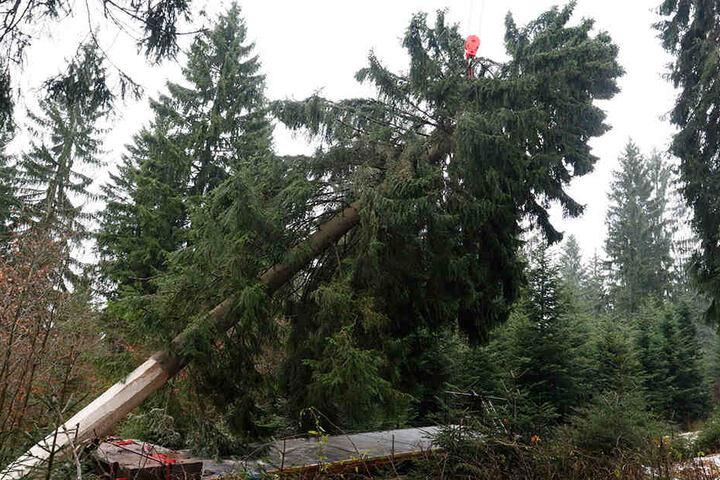 Hier neigt sich der Baum nicht dem Ende, sondern seiner Verladung zu. Per LKW ging es nach Chemnitz.