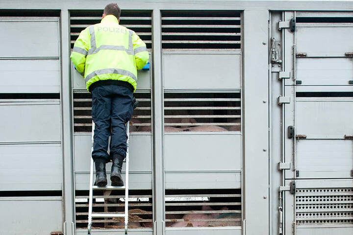 Immer wieder müssen Tiertransporte beanstandet werden.