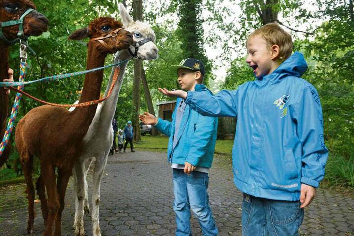 Guck' mal! Florian (8, r.) und Leon füttern und streicheln die frisch geschorenen Tierpark-Alpakas.