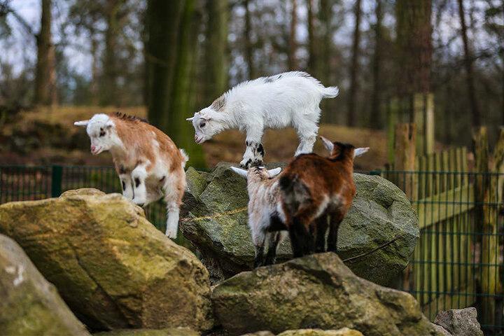 Todesopfer wegen des ungesunden Futters gab es etwa bei den Ziegen.