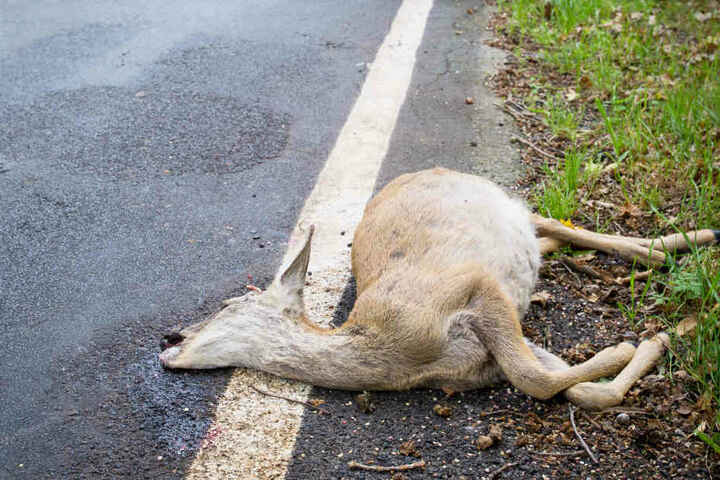 Viele Rehe sterben bei Zusammenstößen mit Autos, direkte Zusammenstöße mit Menschen sind äußerst selten. (Symbolbild)