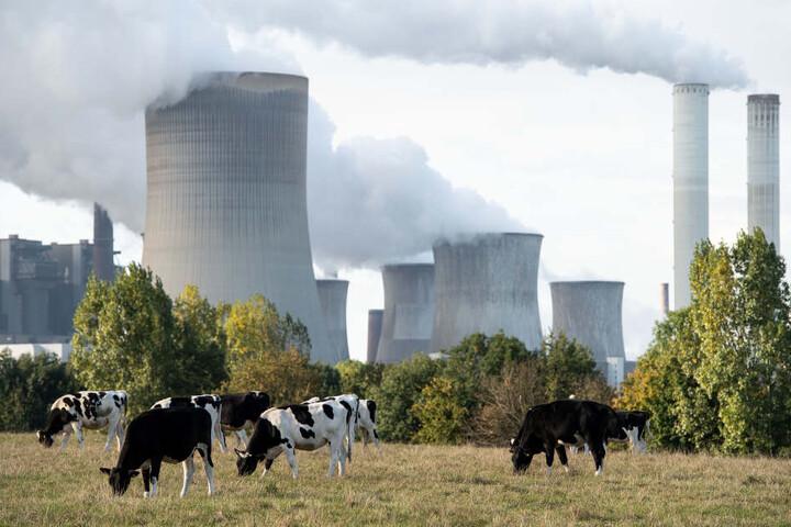Kühe grasen vor dem Kraftwerk bei Bergheim.
