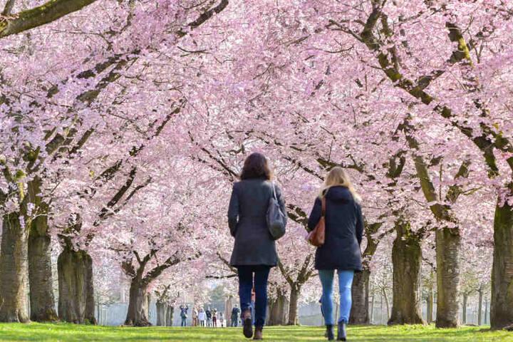 März 2019: Besucher spazieren unter den blühenden japanischen Zierkirschen.