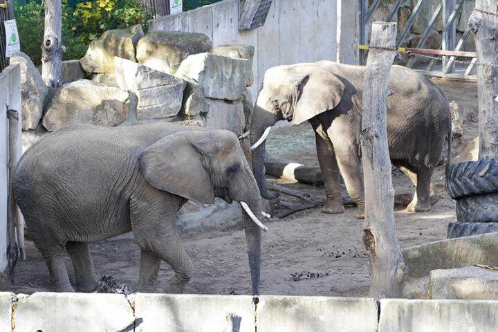 Noch sind die Elefanten neben dem Afrikahaus in einem Interimsbau untergebracht.