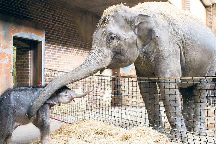 """Aufatmen im Zoo Leipzig: Mit dem kleinen Elefantenbaby geht es dank Pfleger und """"Tanten"""" bergauf."""