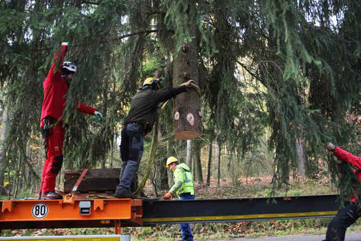 Mitarbeiter versuchen, den Baum für den Transport fertig zu machen.