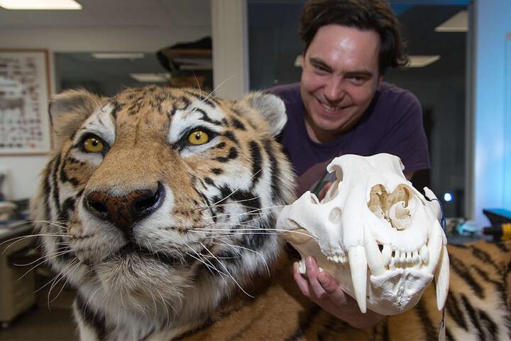 Hier hält Präparator Markus Ranft den originalen Schädel des Tigers in der Hand.