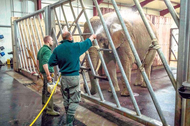 Im Dresdner Zoo gibt es seit Jahren nur geschützten Kontakt mit den  Elefanten.