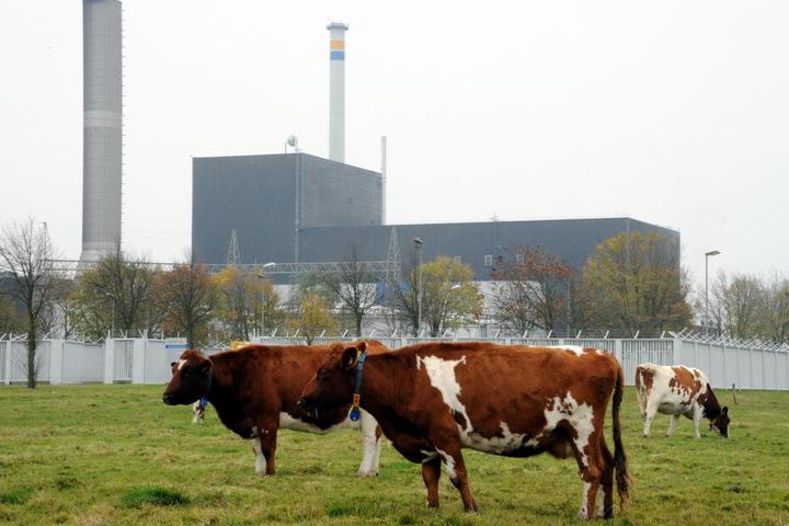 Kühe stehen auf einer Weide am Atomkraftwerk Brunsbüttel.