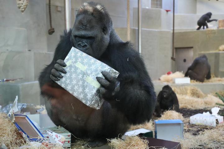 Gorillamännchen Kibo nimmt alles genau unter die Lupe.