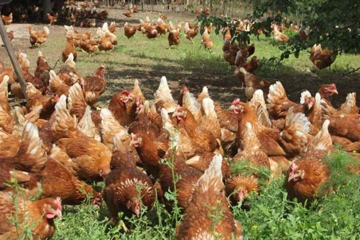 Ein Teil der Gersdorfer Bio-Hühner arbeitet jetzt sozusagen für die Sparkasse.