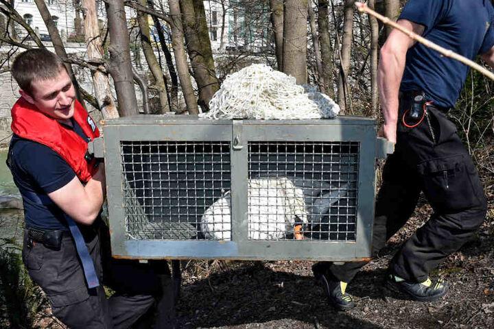 Der verletzte Schwan wurde in eine Vogelklinik gebracht.