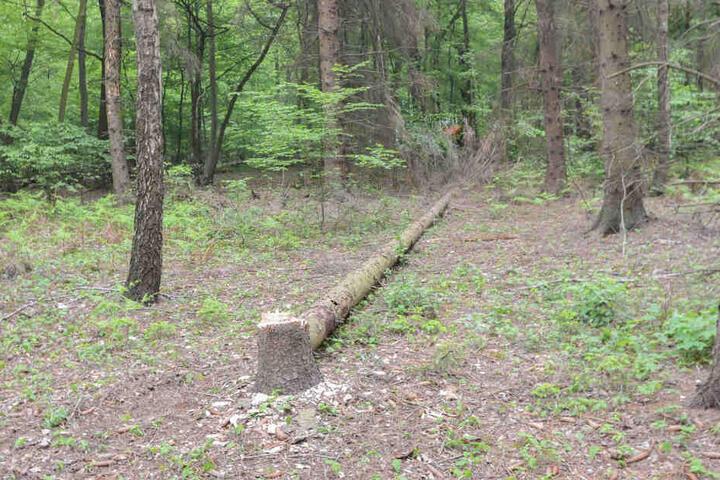 Laut Polizei Aachen wurden erneut einige Bäume gefällt.