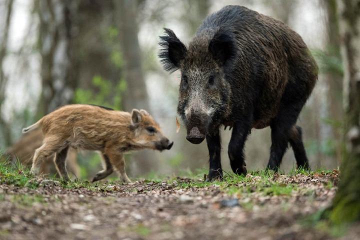 Immer mehr vermeintliche Waldtiere strömen in die Großstädte auf der Suche nach Lebensräumen und Nahrung.