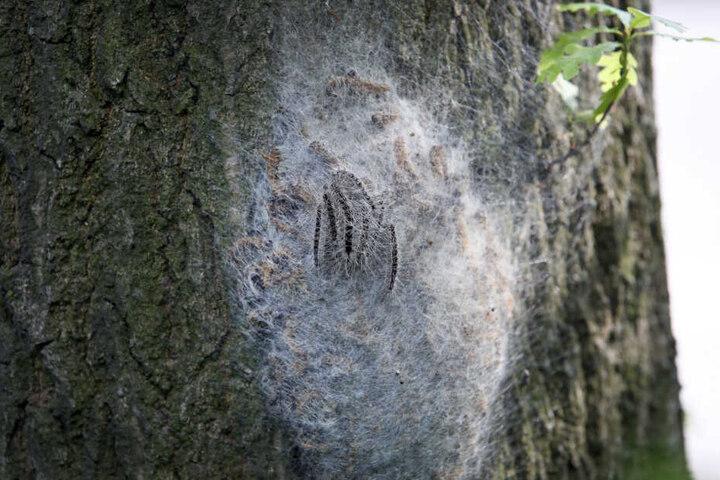 Das Nest des Eichenprozessionsspinners ist meistens rund und an Eichenstämmen oder dickeren Ästen zu finden.