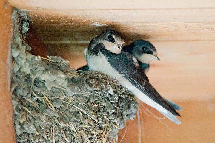 Mittlerweile eine Seltenheit in Brandenburg: Schwalben in ihrem Nest in einem Stall. (Symbolbild)