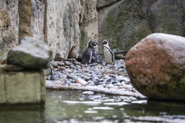 Nachdem Pfleger ihr unbefruchtetes Ei entfernten, tötete dieses Pinguin-Paar vier Artgenossen.