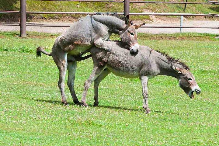 Erwischt! Die Esel lassen sich auch durch Zuschauer nicht stören.