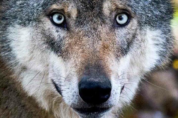 Wurden die Tiere von Wölfen getötet? (Symbolbild)